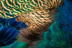 Colorful peacock feathers close-up background texture. Colorful peacock feathers close-up macro background texture royalty free stock image