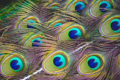 Colorful Peacock Feathers. In full beauty stock photos