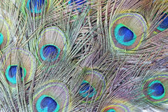 Colorful peacock feathers. High-resolution background royalty free stock images