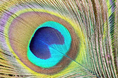 Colorful peacock feathers. High-resolution background stock photo