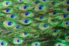 Colorful peacock feathers. Pattern of colorful peacock feathers Royalty Free Stock Image