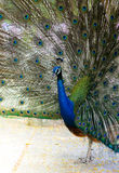Colorful of peacock. In the forest Stock Photography
