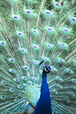 Colorful Peacock in full feather Royalty Free Stock Photos
