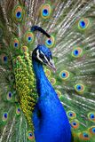 Colorful Peacock in Full Feather. Colorful 'Blue Ribbon' Peacock in full feather (color saturated, shallow focus) ~ Captive Setting stock images