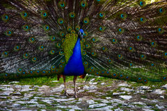 Î' colorful peacock stock image