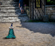 Colorful peacock at greece, rhodes stock photography