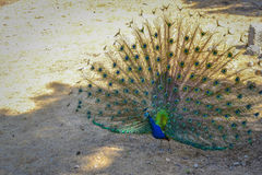 Colorful peacock at greece, rhodes royalty free stock photos