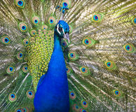 Colorful Peacock In Full Feather. Stock Image