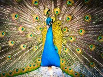 Colorful peacock and its magnificent tail. Stock Image