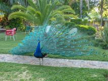 Colorful peacock male strolling through the garden. Day light, in Africa stock photo