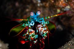 Colorful Peacock Mantis Shrimp in Indonesia. A colorful Peacock mantis shrimp crawls across the seafloor searching for prey in Komodo National Park, Indonesia stock image