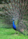 The colorful peacock with the open tail Royalty Free Stock Image