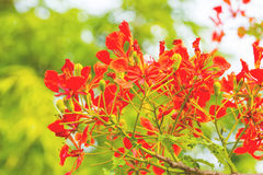 Colorful of Peacock's Crest flowers or Caesalpinia pulcherrima ( Royalty Free Stock Images
