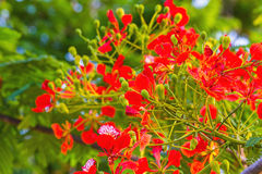 Colorful of Peacock's Crest flowers or Caesalpinia pulcherrima ( Stock Photo