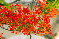 Colorful of Peacock's Crest flowers or Caesalpinia pulcherrima ( Stock Image