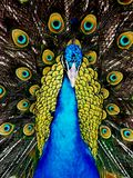Colorful Peacock beauties. A colorful peacock showing off his beautiful tail feathers with bright blues and greens on a warm sunny day stock photos