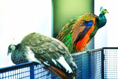 A colorful peacock is sitting on a handrail Stock Photography
