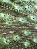 A colorful peacock tail Royalty Free Stock Images