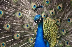 Colorful peacock tail, a bird in the zoo, close up stock photography