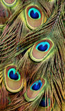 Colorful Peacock Tail Feathers. Beautiful close up of the colorful tail feathers of a male peacock Stock Image