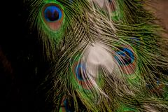 Colorful peacock tail feathers background. Colorful beautiful peacock tail feathers background texture royalty free stock photo