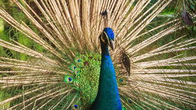 Colorful Peacock Turns Tail under Tree in Park stock video