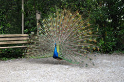 Colorful peacock wheel. In a garden Royalty Free Stock Photos