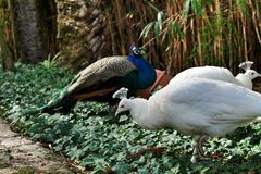 Colorful peacocks in a garden. Of Lisbon, Portugal stock photography