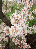 The colorful pear blossoms in the park Stock Photos