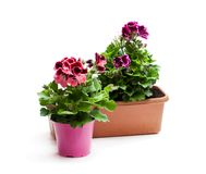 Colorful Pelargonium flowers in flowerpot isolated on white. Re. Ady for planting stock photography