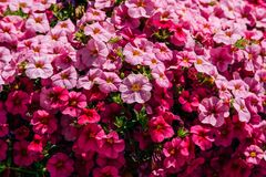 Colorful Pelargonium Geraniums Flowers Royalty Free Stock Photo