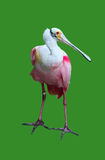 Colorful Pelican Isolated on Green Royalty Free Stock Image