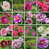 Colorful peony Stock Images