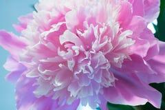 Colorful Peony Flower Stock Photos