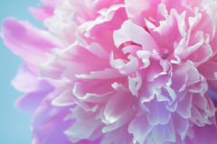 Colorful Peony Flower Royalty Free Stock Image