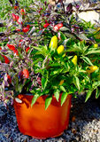Colorful Pepper Plant Stock Photography