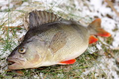 Colorful perch Stock Images