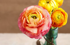 Colorful persian buttercup flowers (ranunculus) Royalty Free Stock Images