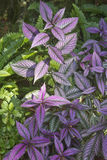 Colorful Persian Shield Plant Royalty Free Stock Image