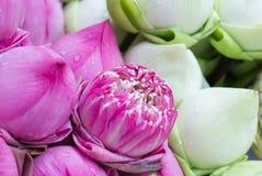 Colorful Petal folded lotus Stock Image