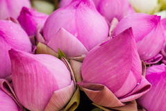 Colorful Petal folded lotus Stock Images