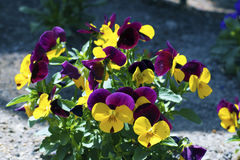 Colorful petals. A yellow and violet petals Royalty Free Stock Photos