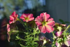 Colorful petunia flowers on the balcony. Small urban home garden with blooming plants. Sunny summer day.  royalty free stock photos