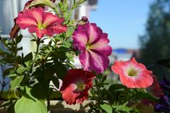 Colorful petunia flowers on the balcony. Urban home garden with blooming plants. Sunny summer day stock image