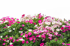 Colorful petunia flowers blossom Royalty Free Stock Images