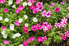 Colorful petunia flowers blossom Royalty Free Stock Photo