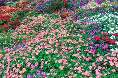 Colorful petunia flowers Royalty Free Stock Photos