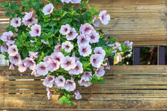 Colorful petunia flowers close up Royalty Free Stock Photo