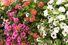 Colorful petunia flowers close up Royalty Free Stock Photography