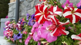 Colorful Petunia Flowers. A colorful garde full of Petunia flowers and a rock wall behind Royalty Free Stock Image